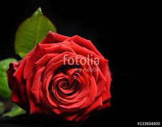 """Download the royalty-free photo """"Wonderful red rose close up with dew drops on black background. Valentine's day background """" created by stillforstyle at the lowest price on Fotolia.com. Browse our cheap image bank online to find the perfect stock photo for your marketing projects!"""