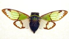 Real Alien Head Cicada Conservation Display by REALBUTTERFLYGIFts