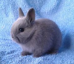 Netherland Dwarf rabbit is just one of the most common domestic rabbit breed. It is a rabbit strain and raised as pets. The Netherland Dwarf rabbit originated f Cute Baby Bunnies, Funny Bunnies, Cute Baby Animals, Animals And Pets, Funny Animals, Dwarf Rabbit, Pet Rabbit, Small Rabbit, Dwarf Bunnies For Sale