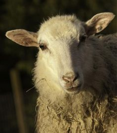 "My sweet Icelandic ewe ""Charlotte"""