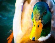 Beautiful mallard duck photograph printed with a fine art mat on metallic paper and mounted on styrene. No watermarking on final print.