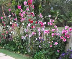 I loved hollyhocks as a kid. Used to make dolls out of them.