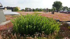 Sedum telephium almost flowering.