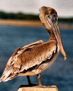 Louisiana: Eastern Brown Pelican (Pelecanus occidentalis)