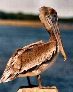 Louisiana: Eastern Brown Pelican (Pelecanus occidentalis)