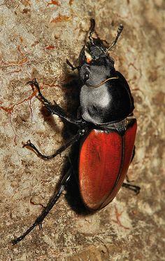 Female Stag Beetle (Neolucanus sp., Lucanidae)