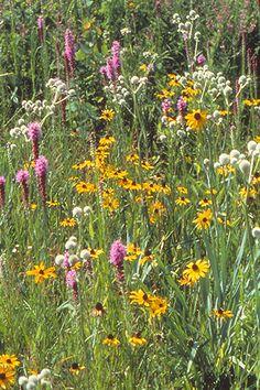 Diverse Prairie for Dry Soils ()