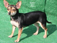 MARIA~ <3 Chihuahua • Adult • Female • Small. Kings County Animal Services Hanford, CA. Petfinder.com is the world's largest database of adoptable pets and pet care information. Updated daily, search Petfinder for one of over 300,000 adoptable pets and thousands of pet-care articles!