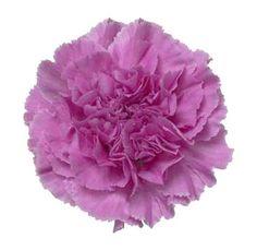Tattoo: Enlarged photo of purple carnation