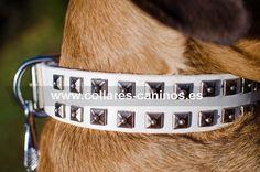Collar de lujo cuero blanco con tachuelas plateadas para actividades con perros Cane Corso - C93W