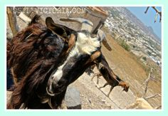 """Goat on the Road"" photo -  Exo-Gonia Santorini -Cyclades #Greece MostlyVictoria © 2013 #Goat #Animal #TravelSnaps #Greece #ExoGonia #Santorini #Greece"