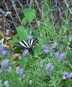 Butterflys on Lavender & Gardening.  I like lavender for the color and the smell!
