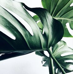 Tropical greenery plants - The Social Cue Green Plants, Tropical Plants, Tropical Leaves, Shade Plants, Green Leaves, Plant Leaves, Monstera Leaves, Monstera Deliciosa, Plantas Indoor