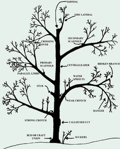 Gardening Info-Graphic: How to Prune Fruit Trees Fruit Garden, Garden Trees, Edible Garden, Garden Plants, Fruit Plants, Prune Fruit, Pruning Fruit Trees, Apple Tree Pruning, Garden Care