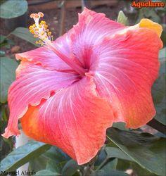 """Hibiscus rosa sinensis """"Aquelarre"""""""