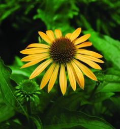 Not All Coneflowers are Created Purple: The Color and Name Suggest Fall, but 'Harvest Moon' is a Summer Performer.