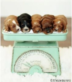 Meet our adorable Cavalier and Cavapoo puppies for sale. Small, family owned breeder of AKC champion line Cavaliers. All pups have a Health Guarantee and are Well Socialized by our family at Willow Ridge farm! King Charles Puppy, Charles Spaniel, Cavalier King Charles, Cavapoo Puppies For Sale, Puppies Puppies, Forever Puppy, Poodle Mix, Puppy Food, Therapy Dogs