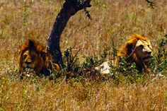Pair of lions resting  from the mid-afternoon heat in the Ngorongoro Conservation Area (Serengeti Plain), Tanzania Africa, October 2013