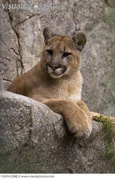 California Mountain Lion | Mountain Lion (Felis concolor) cub portrait, San Diego Zoo, California