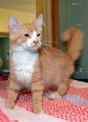 Malcolm is an adoptable Domestic Short Hair - Orange And White Cat in Plattsburgh, NY. Malcolm was a young stray trying to find enough food and a warm place to sleep before coming to the shelter. He ...