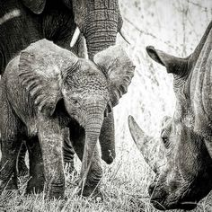 Magnificent animals great photo @laramorrissey - Such a magical photo. Elephants & rhinos - the 2 most majestic incredible & iconic creatures on the African continent. And they are disappearing right before our very eyes at such an astonishing rate. Is it going to take losing every last one of them for us to realize that they are so much a part of who we are? Not on my watch. Can you imagine a world without them? The mere thought of that is almost more than my heart can bare. But it is a…