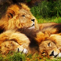 Threes company.. Lions at rest!