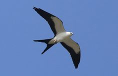 Swallow-tailed Kite - Champaign, Illinois | by Hard-Rain