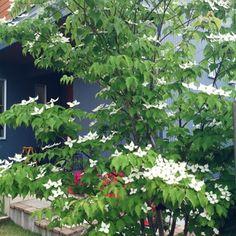 花のような総苞片が美しいヤマボウシ。 落葉高木と常緑高木があり、落ち葉の掃除が苦手な方は常緑種を! 秋口には赤い独特の形の実をつけ、マンゴーのような甘みを楽しめます。
