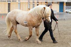 Nordlandhest stallion Rambo Råfaks Mini Horses, Icelandic Horse, Draft Horses, Show Jumping, Palomino, Horse Breeds, Donkey, Dressage, Beautiful Horses