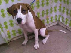 #FLORIDA #URGENT ~ ID A270733 in Room DCARPORT is a friendly 7mo old English Foxhound mix #puppy dog who has not been tested for HW & is in need of a loving #adopter or #rescue by her due out date of 7-27-13 at ORANGE COUNTY ANIMAL SERVICES 2769 Conroy Rd #Orlando FL  32839 animalservices@ocfl.net  Ph 407-254-9150