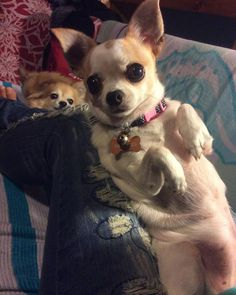 Somebody's watching me... #chihuahua