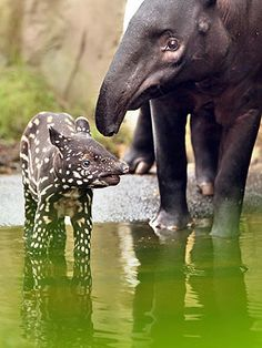 Baby Tapir with Spots- believe it or not I've seen this is person in Belize where the tapir is the national animal. Mix between an anteater and a hippo. Crazy ish.