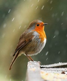 My Favourite Red Robin