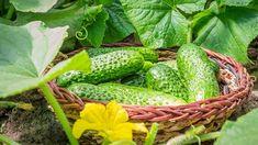 Proč zalévat okurky mlékem? Vyplatí se to z více důvodů   iReceptář.cz Cucumber Beetles, Cucumber Plant, Harmful Insects, Cucumber Canning, Compost Tea, Crop Rotation, Plant Stem, Organic Fertilizer, Photosynthesis