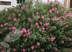 2nd post - CISTUS (Rock Rose) Wonderful dry tolerant plants, many have fragrant foliage and bloom prolifically.  creticus 'Violetti' – bright pink flowers without maroon blotches at the centre. 1.5mH x 1.5mW x skanbergii – wonderfully dry tolerant variety that covers itself in spring with soft pink flowers. Softer, rounder habit and dense foliage make this a useful plant. 1.0mH x 2.0mW