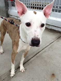 Manhattan Center   PRINCESS - A0991338  FEMALE, WHITE / BR BRINDLE, BULL TERRIER MIX, 4 yrs OWNER SUR - EVALUATE, NO HOLD Reason CHILDCONFL  Intake condition NONE Intake Date 02/08/2014, From NY 10460, DueOut Date 02/08/2014 https://www.facebook.com/photo.php?fbid=755482574464624&set=a.617938651552351.1073741868.152876678058553&type=3&theater