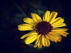 Canyon Sunflower #flowers #garden #nature #plants #ig_nature #ig_naturelovers #ig_naturepictures #ig_naturesbest #ig_garden #ig_flowers