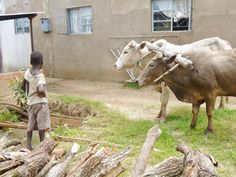 Oxen driven cart delivers firewood for the outdoor cooking of nshima at Kabwe for 900 orphans and disadvantaged children Orphan, Outdoor Cooking, Firewood, Charity, Cow, Children, Animals, Young Children, Woodburning