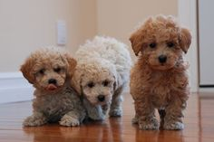 Bichon Poo puppies. Enzo is full mini poodle and looked JUST like this as a puppy.