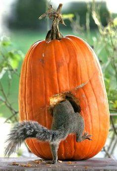 Country Autumn - squirrel in pumpkin Animals And Pets, Baby Animals, Funny Animals, Cute Animals, Baby Owls, Wild Animals, Beautiful Creatures, Animals Beautiful, Cute Squirrel