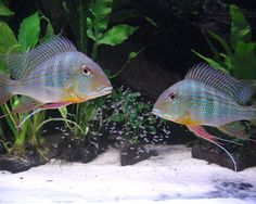 Geophagus altifrons,Geophagus altifronsSpecies Profile, Geophagus altifrons Care Instructions, Geophagus altifrons Feeding and more.::...