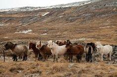 Image result for ijslanders in ijsland paarden
