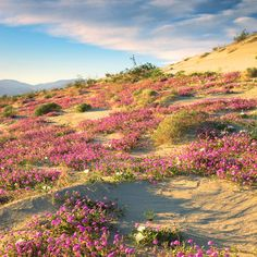 Anza-Borrego State Park, San Diego, CA  Catch one heck of a spring show is on view at Anza-Borrego, California's largest state park. First-timers can't miss the Borrego Palm Canyon Trail, a 3-mile round-trip flowering with brittlebush, desert lavender, and ocotillo. For a hike twice as long, there's the 6- mile round-trip into Hellhole Canyon for blooming barrel cactus, lupine, and phacelia, plus Maidenhair Falls. Four-wheeling flower fans, scope out the sand verbena and dune evening…