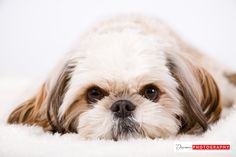 Pet Portraits, Dog Photographer, studio photography, Discovery Photography, Pet photography
