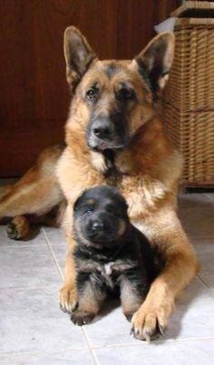 Wicked Training Your German Shepherd Dog Ideas. Mind Blowing Training Your German Shepherd Dog Ideas. Cute Puppies, Cute Dogs, Dogs And Puppies, Doggies, Corgi Puppies, Beagle, Funny Dogs, Big Dogs, I Love Dogs