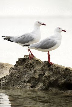Seagulls on a rock by RuthBlack | Stocksy United