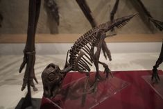 Royal Ontario Museum Vintage Hong Kong Dinosaur -ROM ALBERTOSAURUS CANADA.