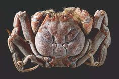 """This is the Heikegani Crab (Heikeopsis japonica), a species of crab native to Japan. As you can see, their shells display patterns that strongly resemble a human face and for this reason they are nicknamed """"samurai crabs"""". Memento Mori, Crab Stuffed Shrimp, Selective Breeding, Crab And Lobster, Salt Water Fish, Japanese Tattoo Art, Underwater Creatures, Smart Art, Beautiful Fish"""