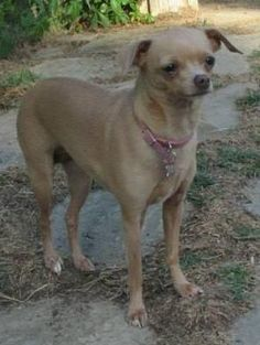 Lost Dog - Chihuahua Short Haired - Allen, TX, United States 75002