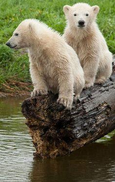 Little brat cubs on a log